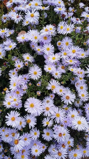 Cold autumn flowers Flower Eyes Eyes Of Flowers November Flowers White-blue Blue-white Yellow Cold Cold Flower Cold Colors Autumn Flowers Light Blue Light Lilac Snow Color Color Of Snow Flower Head Flower Backgrounds Full Frame Close-up Blooming Delicate Tissue Beautiful Blossoming  Attractive Soft Pure Top View In Bloom