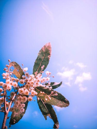ดอกมะกอกน้ำ Flower City Blue Tree New Life Sky Close-up Plant Butterfly - Insect Plant Life Symbiotic Relationship Lantana Camara Stamen Lily Pollination Botany Flower Head Photosynthesis In Bloom Insect Hibiscus Pistil Zinnia  Cocoon Blossom