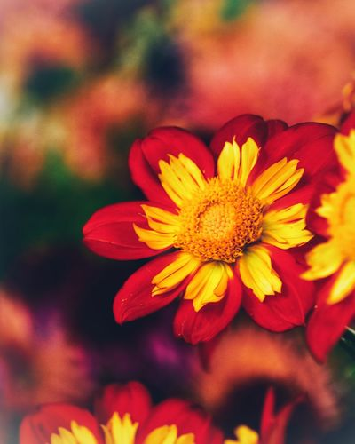 Flower Flowering Plant Plant Freshness Beauty In Nature Fragility Close-up Yellow Inflorescence Focus On Foreground Outdoors Day Red No People Nature Pollen Flower Head Growth Petal Vulnerability