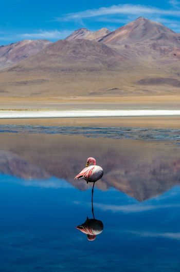 Flamingo in Bolivia's Salar de Uyuni Nature Mountain Sky Scenics Water Beauty In Nature Flamingo Mountain Range Tranquility Tranquil Scene Lake Animals In The Wild Outdoors Bird