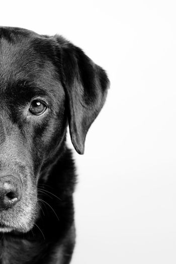 portrait of a dog, Brown labrador in Black and White Adorable Space Blackandwhite Cute Labrador Breed Dog Pets One Animal Domestic Animals Studio Shot Mammal Animal Themes Portrait Looking At Camera Close-up White Background Indoors  No People