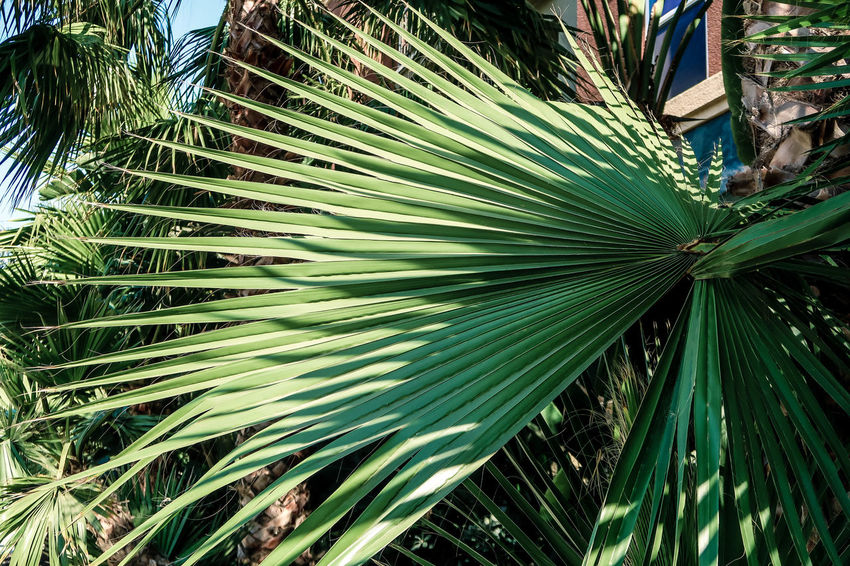 Palm leaves Beauty In Nature Close-up Day Freshness Frond Geometric Green Color Leaf Nature Palm Leaf Palm Tree Plant Texture Tree Tropical Tropical Climate