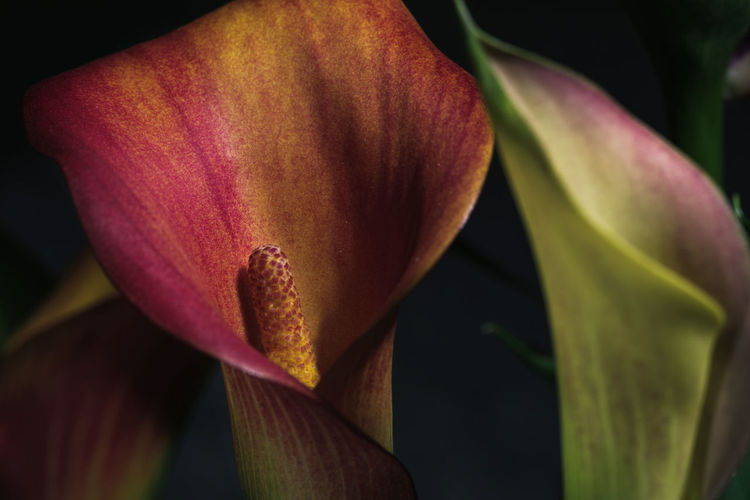 Close-up of red lily blooming outdoors