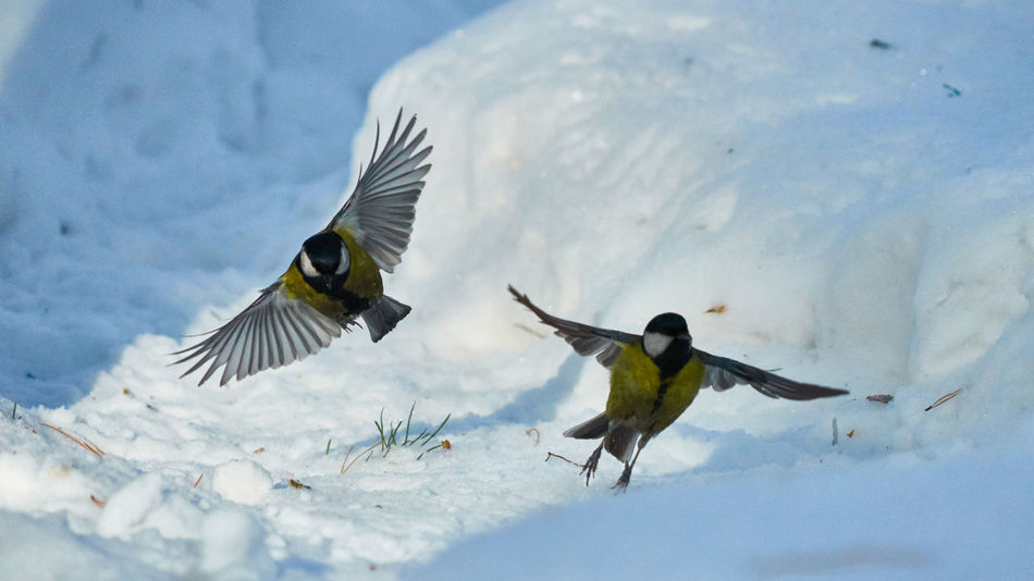 Animal Themes Animal Wildlife Animals In The Wild Beauty In Nature Bird Close-up Cold Temperature Day Flying Mid-air Motion Nature No People Outdoors Snow Spread Wings Tomtit Winter