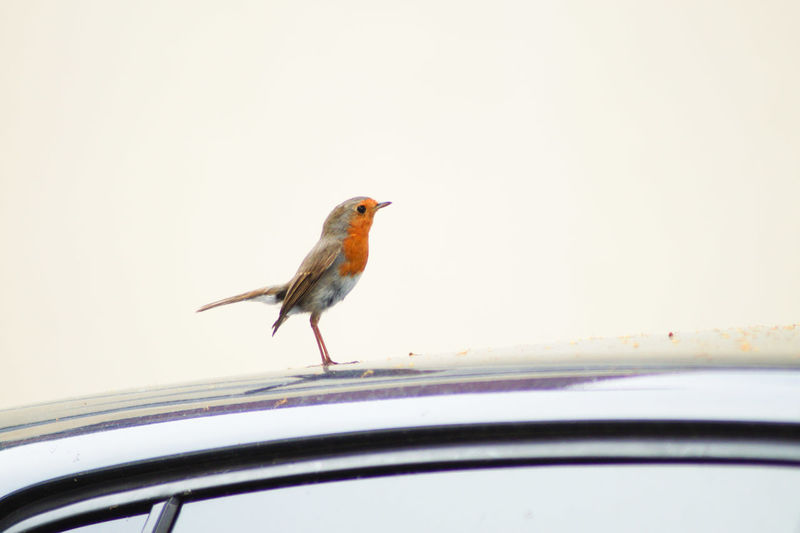 Robin ON THE Hood😉 Hood Starlet Star Standing Alone Top Copy Space Marketing Advertising Background Rooftop View  Orange Color European Robin European Robin ( Erithacus Rubecula) In Front Cool Loneliness Number One Take-off Left Daydreaming Bird Perching Car Animal Themes Close-up Car Roof Songbird  Sparrow Robin Parking