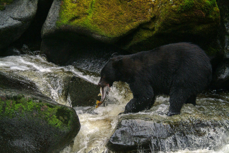 Black Bear Fishing on an Alaskan River. A black bear gorges on salmon in a beautiful wilderness area of southeast Alaska. Feeding Animals Animal Animal Themes Animal Wildlife Animals In The Wild Bear Black Bear Day Fish Fishing Flowing Water Mammal Nature No People One Animal Outdoors River Rock Southeast Alaska Stream Stream - Flowing Water Water Wilderness