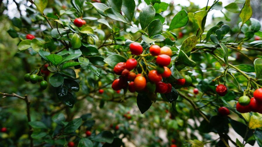 buah Tree