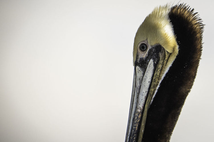 Ways Of Seeing Animal Beak Bird Eye Feather  Nature Outdoors Pelican Wildlife