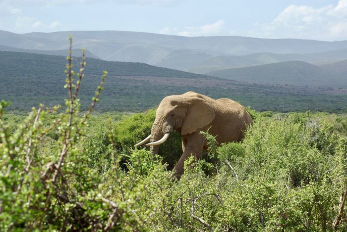 African Elephant Animal Themes Animal Trunk Animal Wildlife Animals In The Wild Beauty In Nature Day Elephant Landscape Mammal Mountain Nature No People One Animal Outdoors Plant Safari Animals Scenics Sky Tusk