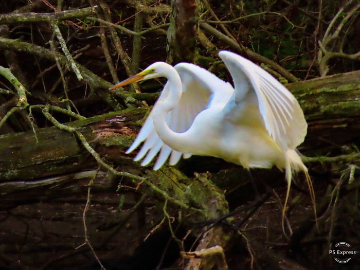 My Best Photo great egret with wings spread wide. birds of EyeEm beauty in nature outdoors at the preserve Animal Wildlife Animal Themes Water No People My Best Photo