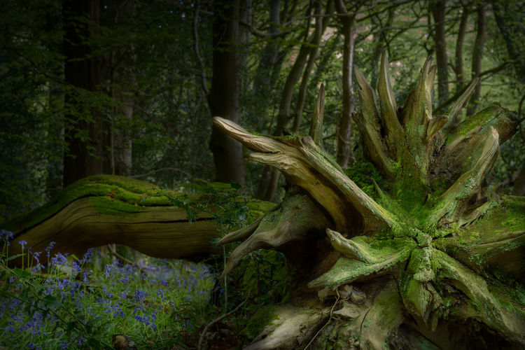 Forest Abstract Roots Of Tree Blue Bells Roots Grass Spring Flowers Rural Scene Isle Of Man Tree Moss Bark Woods Fallen Tree Dead Tree Tree Trunk