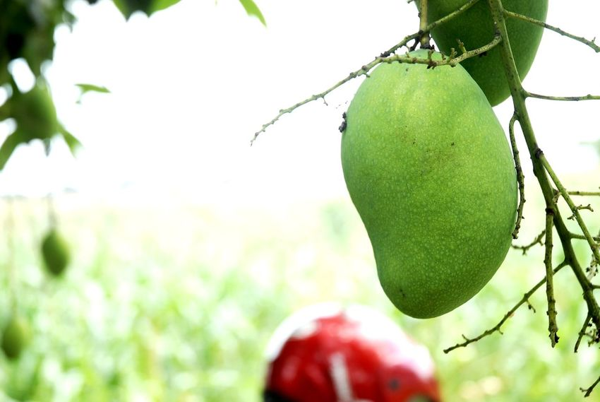 Fruit Nature Tree Focus On Foreground Food And Drink Outdoors Freshness Day Agriculture Growth Hanging Healthy Eating No People Food Apple - Fruit Close-up Beauty In Nature Rural Scene Branch Grass Mango Mangoes Nikond200 Nikon Sunny Day☀
