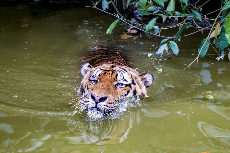 High angle portrait of tiger swimming