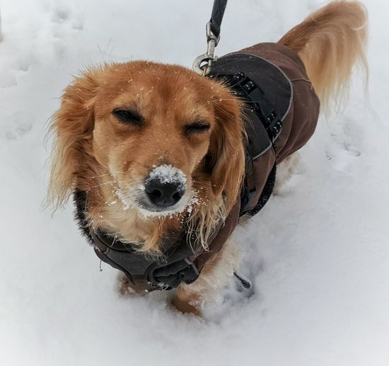 """🐕""""Have you ever walked with 15cm of legs properly through snow? ...I see. Well,then, don't laugh!🐕 Animal Animal Head  Animal Themes AntiM Brown Close-up Composition Curiosity Dog Domestic Animals Home Looking Away Mammal My Dogs Are Cooler Than Your Kids One Animal Pets Portrait Relaxation Relaxing Sitting SweetSally Zoology Things I Like"""