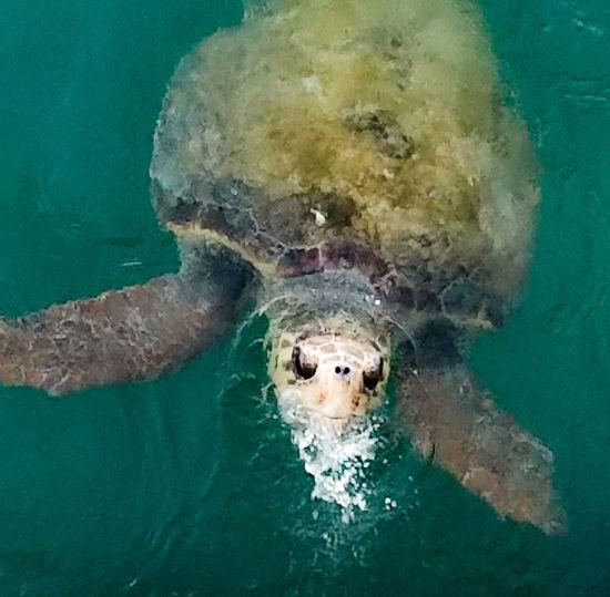 Sea Turtle Sea Turtle Swimming Water Ocean Sea Sea Life Breathing Fresh Air EyeEm Nature Lover EyEm Animal Lover Nature Turtle Endangered Animals The Week On EyeEm EyeEmNewHere