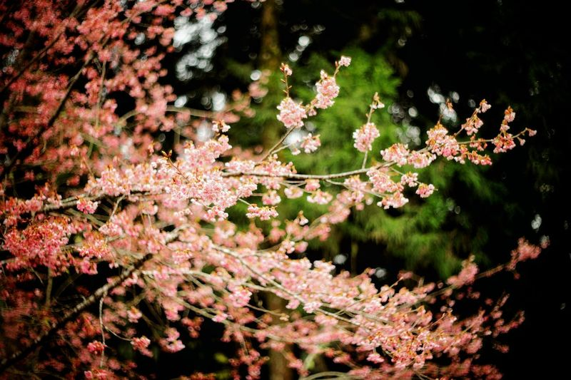 remake 2016 Sakura Pink Spring Flower Zisunword Tree Flower Branch Flower Head Pink Color Springtime Blossom Close-up Sky Plant Cherry Tree Flora Flower Tree Pure Blossoming  Orchard Blooming