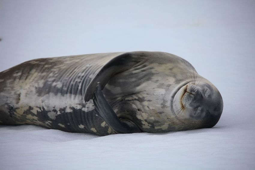 Weddell Seal Animal Themes Animal Wildlife Animals In The Wild Aquatic Mammal Close-up Cold Temperature Day Lying Down Mammal Nature No People One Animal Outdoors Sea Life Seal - Animal Snow Weddell Seal Winter