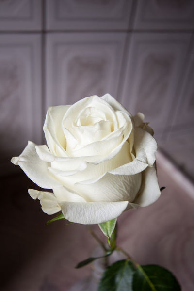 White Rose Beauty In Nature Close-up Flower Flower Head Fragility Freshness In Bloom No People Petal Rose - Flower Soft Focus Springtime White Rose Yellow