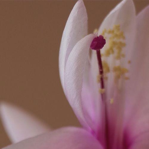 Schlumbergera Macrogardener Macro Nature Macroworld_tr Macro Macro_collection Macro Photography Macrophotography Macro Beauty Macro_flower Macroflower