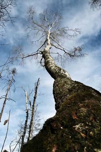 Schwenninger Moos in Germany | Nature_collection EyeEm Nature Lover Tree Plants Showcase: December Change Your Perspective Nature Forest Lookingup Birch Tree Nature's Diversities