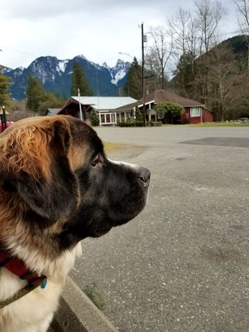 Hanging out with this special pup in the picturesque tiny town of Index. Saint Bernard St Bernard Poetic Quiet Moments Thoughts Mountains Town Index Washington WA PNW Pets Tree Dog Sky Close-up