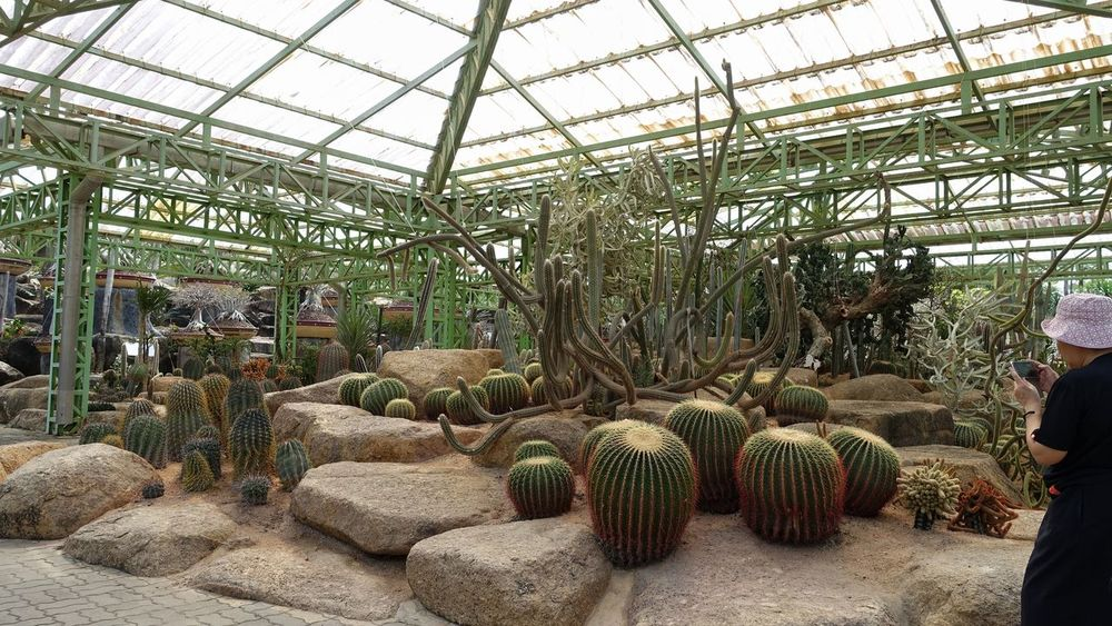 Cactus Greenhouse Plant Growth Plant Nursery Nature Indoors  Day Cactus No PeopleBeauty In Nature Botanical Garden Garden People Standing One Person Nature