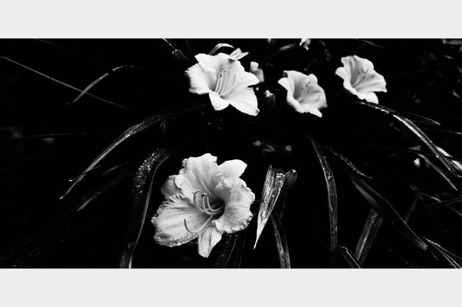 Flower Flowerporn Nature Flowers, Nature And Beauty Flower Collection Monochrome Eye4photography  Beauty In Nature Cinematic Art Photography EyeEm Best Edits Blackandwhite Inspire EyeEm Best Shots Nature Photography