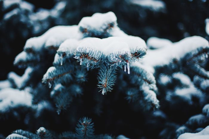 Bluesprucetree Spruse Spruce Tree Cold Temperature Winter Snow Nature Weather No People Frozen