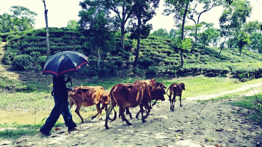 Cowboy BeautifulBANGLADESH Sylhet Teagarden Beauty In Nature Cows Cattle