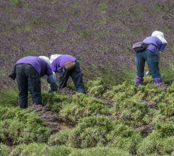 Workers Plucking Lavenders On Field