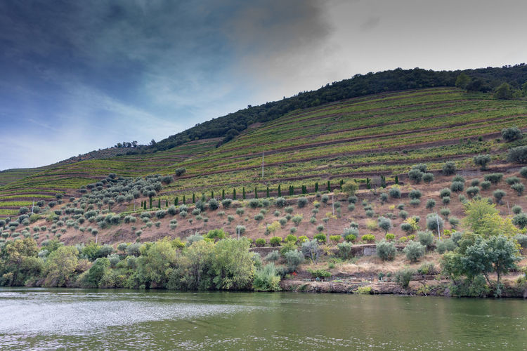Vines and olive trees on slopes around Douro river Douro  Portugal Riverside Beauty In Nature Cloud - Sky Day Environment Lake Land Landscape Mountain Nature No People Non-urban Scene Outdoors Plant Scenics - Nature Sky Tranquil Scene Tranquility Tree Water Waterfront