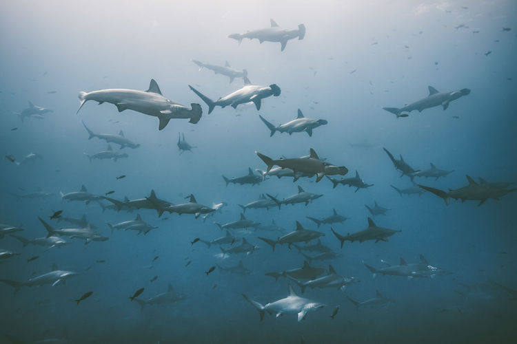 Animal Group Of Animals Animals In The Wild Animal Themes Vertebrate Fish Animal Wildlife Underwater Swimming Large Group Of Animals Water Sea UnderSea Sea Life Marine School Of Fish Shark Nature No People