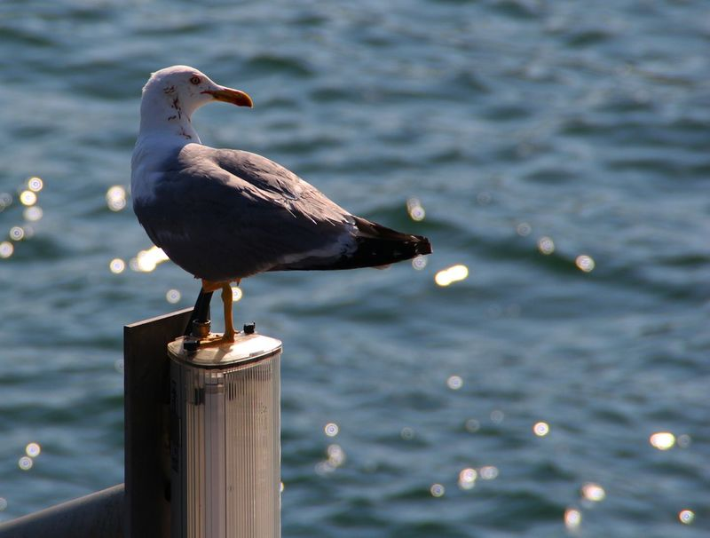 Seagull Harborside Enjoying The Sun Relaxing Outdoors Focused Blurred Background Mediterranean Sea Copy Space Minimalism Bird Photography One Animal Animal Themes Animal Photography Flares Glowing Peace And Quiet Relaxing Moments No People