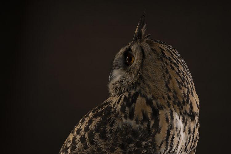 A turkmenian eagle owl bubo bubo turcomanus profile of the head studio shot with brown background