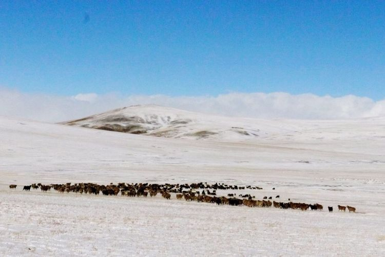 Mongolia After Snowing Day Sheep Mountains Snow