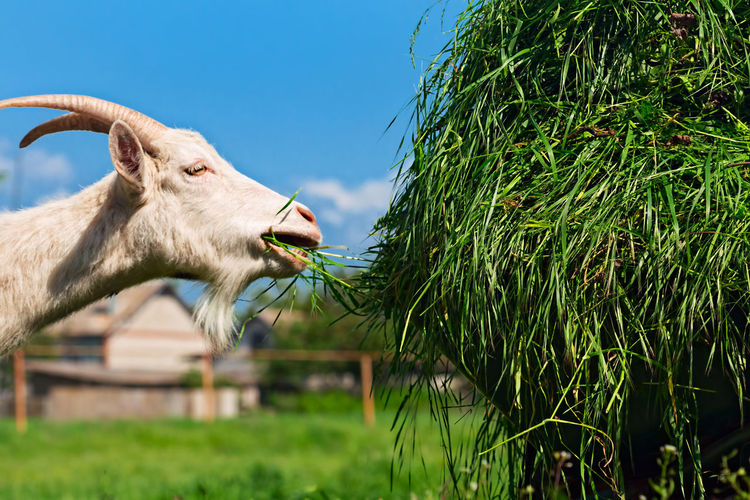 Goat feeding grass on field against blue sky
