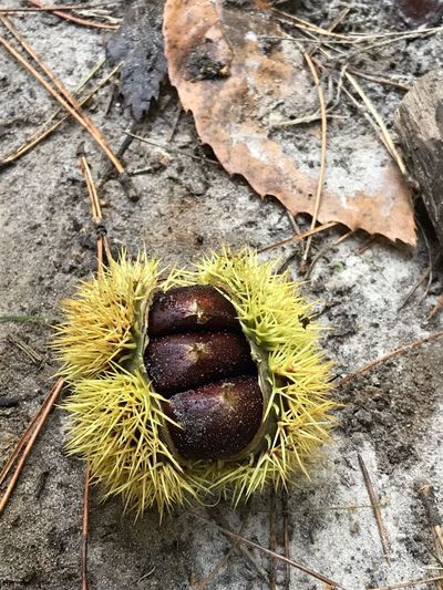 Tombé en territoire inconnu :-) Nature No People High Angle View Close-up Day Plant Part Leaf Chestnut - Food Dry Beauty In Nature Textured
