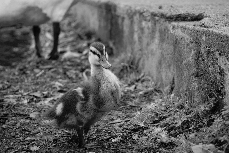 First Eyeem Photo Duck Ducks Duck Baby Babyduck