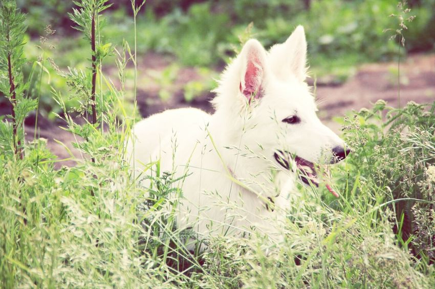 White German Shepherd Alice