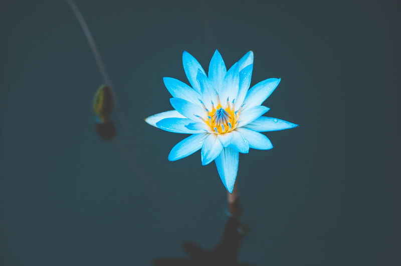 Close-up of purple water lily against black background