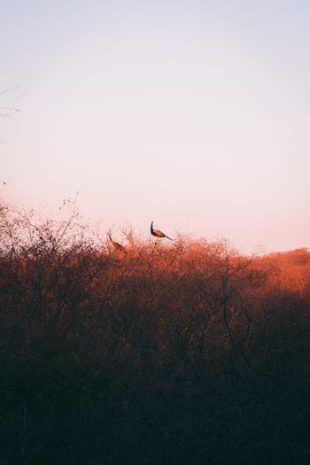 View of peacock sitting on a tree during sunset