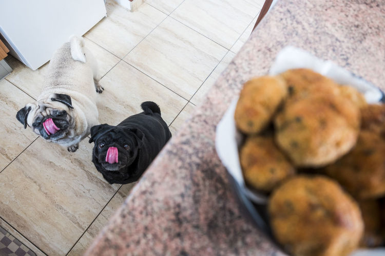 two pug dog in the kitchen looking with interest at meatballs Interesting Animal Themes Close-up Curiosity Day Dog Domestic Animals Food Food And Drink Freshness Indoors  Interest Kitchen Mammal Meatball No People Pets Pug Love Tongue Tongueout Two Dogs