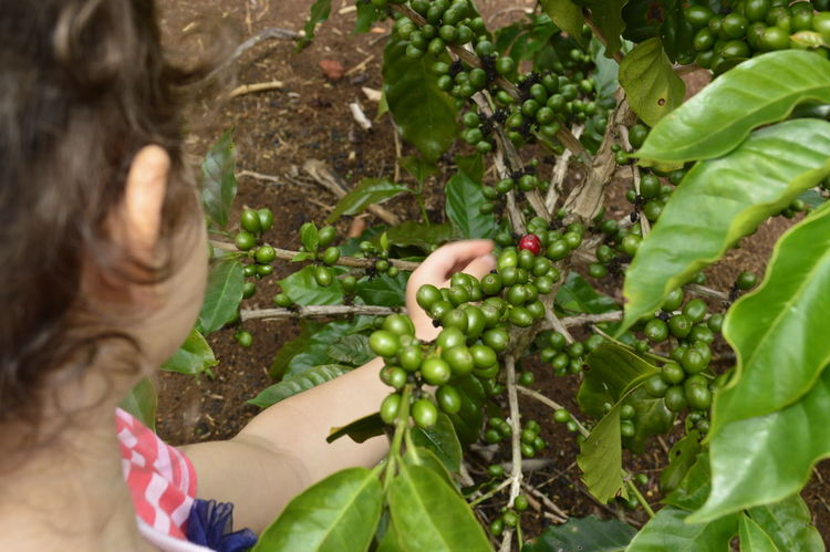 Growing and maturing coffee beans Green Hanging Out Mexico Veracruz Close-up Coffeebeans Coffeeplant Coffeeplantation Girl Growth Outdoors Plantation