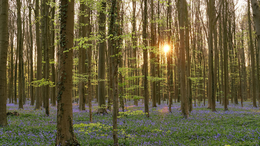 The magic of Hallerbos - bluebells - April 2019 - Plant Forest Tree Land Tranquility Beauty In Nature Tree Trunk WoodLand Trunk Tranquil Scene Growth Sunlight Scenics - Nature Nature No People Non-urban Scene Sunbeam Green Color Day Sun Lens Flare Outdoors Pine Woodland Pine Tree Coniferous Tree Bluebells Hallerbos Bois De Hal Hyacinth Flower