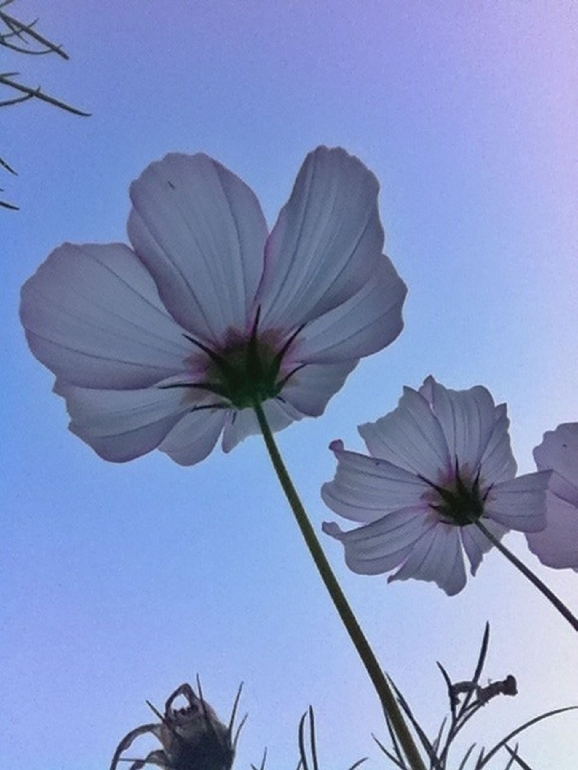flower, fragility, petal, low angle view, freshness, clear sky, flower head, growth, beauty in nature, nature, stem, blue, copy space, close-up, plant, blooming, no people, single flower, day, sky