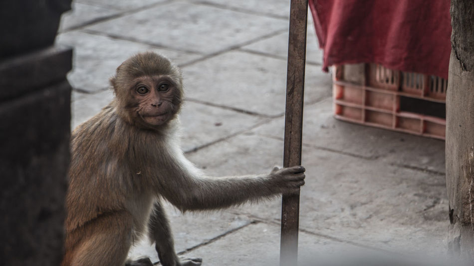 One of yours! Monkey Animal Themes Mammal One Animal Animal Wildlife Outdoors Day Close-up The Monkey Series Nepal Swoyambhu