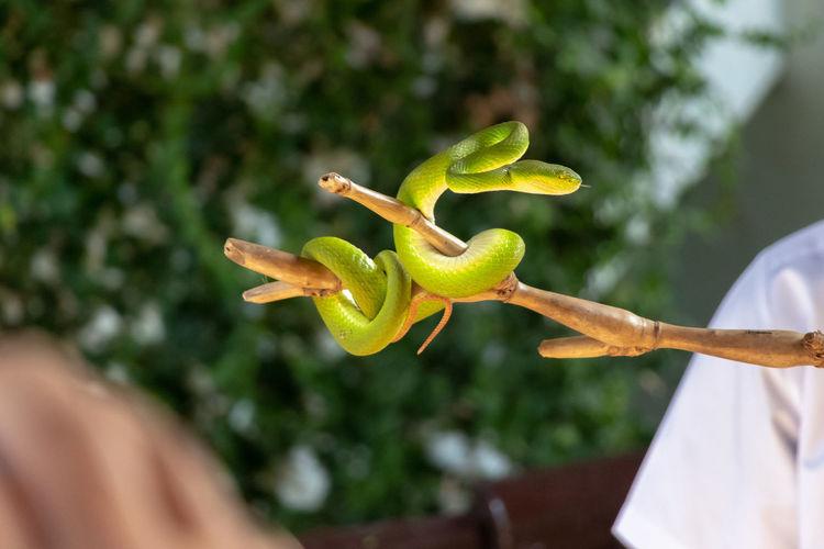 Close-up green pit viper on tree stick