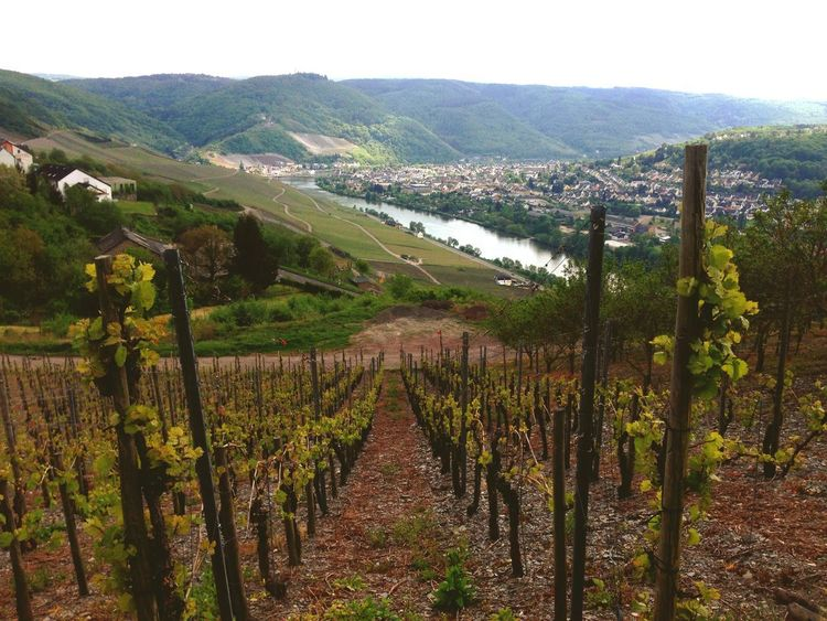 River Fluss Mosel Weinberg Weinberge Agriculture Vineyard Crop  Growth Landscape Plant Land Nature Field Tranquility Tranquil Scene Beauty In Nature Environment Vine
