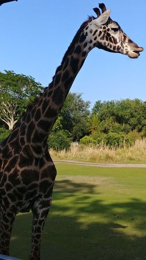 Close Up Giraffe Animal Animal Face Spots Long Neck  Close Up Young Giraffe Tree Giraffe Animal Themes Sky