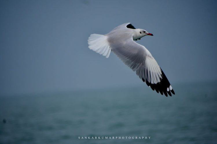 Bird Flying Mid-air Animal Wildlife Spread Wings Outdoors Nature No People Day Close-up Sky
